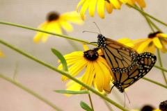 Papillon L'amour