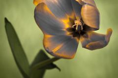 Olympus Tulip