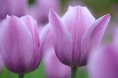 Tulip Number 3