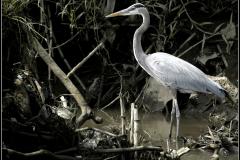 Great Blue Heron Costa Rica