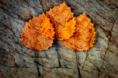 Triple Exposure Leaf