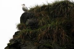SPSS-nn-Iceland_Gull-Luba_Ricket