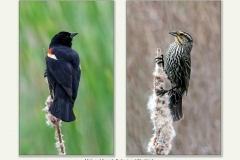 Male And Female Redwinged Blackbirds