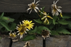 Daisies In Transition