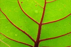 Bermuda Leaf