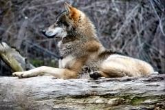 Euorpean Wolf