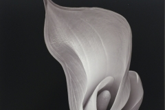 Calla Lily In Studio
