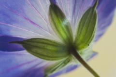 Illuminated Geranium