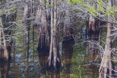 A Collection of Cypress Trees