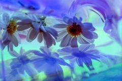 Flowers Shadows