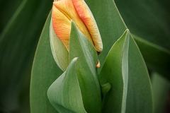 Tulip Wrap