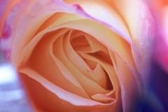 Rose Ascending