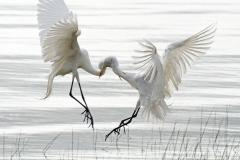 Egrets Necking