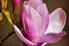 1115PRG0-General[Julie_Palyswiat]Magnolia_Blossom