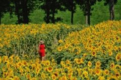 1115PRG0-General[Luba_Ricket]Strolling_Thru_Sunflowers