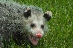 I'm Not Playing Possum Herre