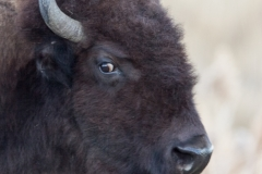 Bison Looking