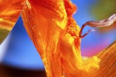 Orange Flower Fantasy